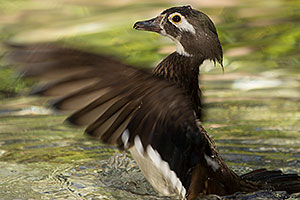 Wood Duck (female) at Reid Park Zoo
