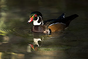 Wood Duck at Reid Park Zoo