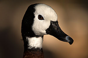 White Faced Whistling Duck at Reid Park Zoo
