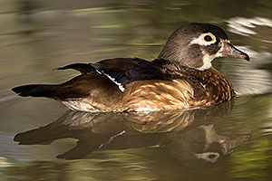 Wood Duck female in Tucson