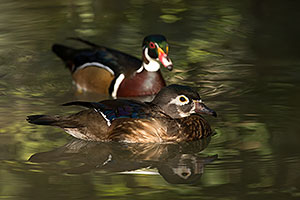 Wood Ducks in Tucson