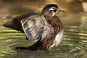 Wood Duck in Tucson