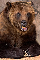 Grizzly at Reid Park Zoo