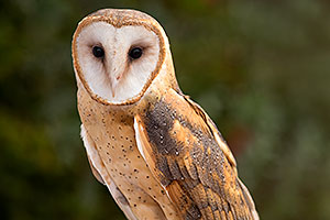 Barn Owl in Tucson