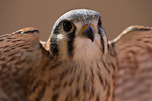 Kestrel in Tucson
