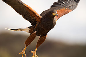 Harris Hawk at Arizona Sonora Desert Museum