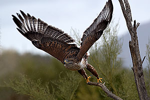 Ferruginous Hawk at Arizona Sonora Desert Museum