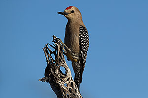 Gila Woodpecker (male) in Tucson