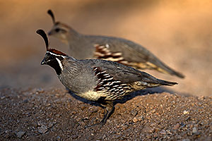 Gambels Quail male with female in Tucson