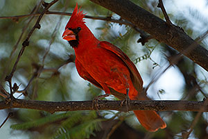 Cardinal in Santa Catalina Mountains