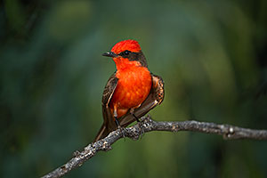 Vermillion Flycatcher in Santa Catalina Mountains