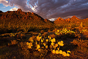 Sunset Saguaro in Tucson Mountains