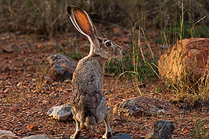 Jackrabbit in Green Valley, Arizona