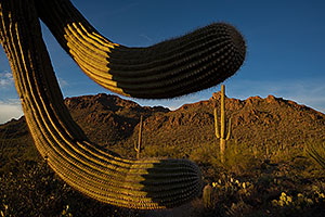 Saguaro Cactus by Tucson Mountains, Arizona