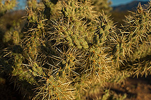 Tree Cholla by Santa Rita Mountains in Arizona