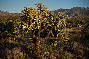 Tree Cholla by Santa Rita Mountains, Arizona