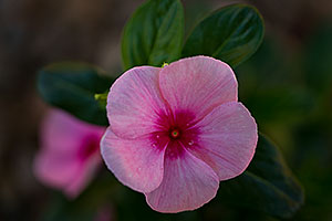 Vinca flower in Green Valley, Arizona