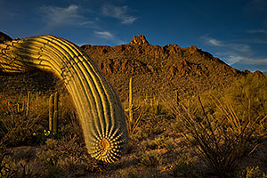 Saguaro in the evening at Tucson Mountains, Arizona
