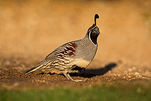 Gambels Quail in Green Valley, Arizona