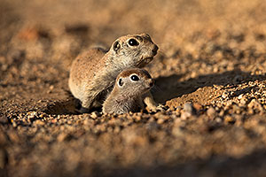 Baby Round Tailed Ground Squirrel with mother