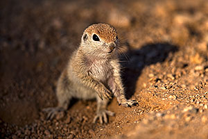 Baby Round Tailed Ground Squirrel