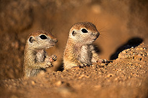 Baby Round Tailed Ground Squirrels playing