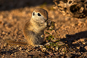 Baby Round Tailed Ground Squirrel eating Creosote Bush