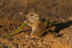 Baby Round Tailed Ground Squirrel with Mesquite beans