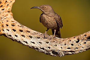 Curved Bill Thrasher on Cholla