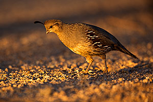 Female Gambels Quail in evening light