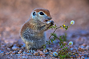 Baby Round Tailed Ground Squirrel eating creosote bush flowers