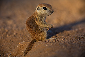 Baby Round Tailed Ground Squirrel standing up