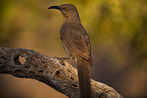 Curved Bill Thrasher on cholla branch