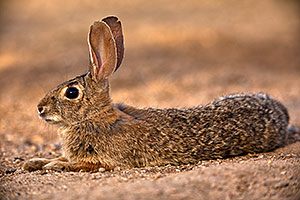 Desert Cottontail relaxing in Green Valley