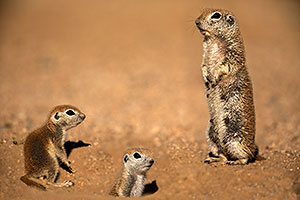 Round Tailed Ground Squirrels family