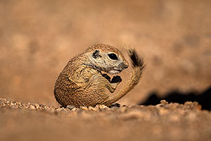 Baby Round Tailed Ground Squirrel with a curved tail