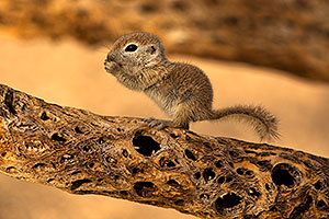 Baby Round Tailed Ground Squirrel on a cholla