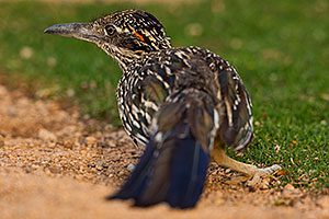 Roadrunner in Green Valley