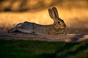 Desert Cottontail resting in the evening