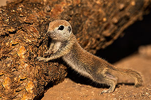 Baby Round Tailed Ground Squirrel by a cholla