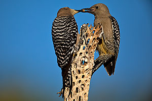 Mom (on the left) feeding baby Gila Woodpecker