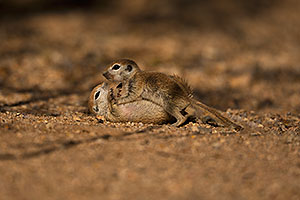 Baby Round Tailed Ground Squirrel play fighting
