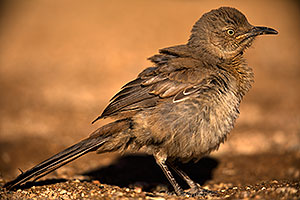 Baby Curved Bill Thrasher
