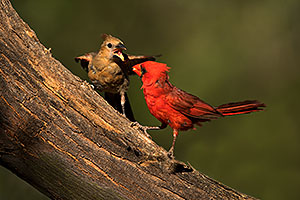 Cardinal male feeding female baby in Green Valley