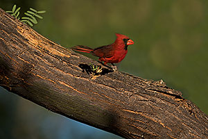 Cardinal in Green Valley
