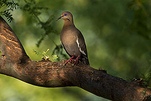 White Winged Dove in Green Valley