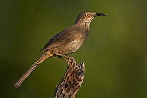 Curved Bill Thrasher in Green Valley