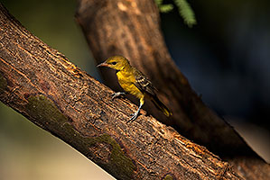 Female Oriole in Green Valley