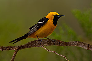 Male Hooded Oriole in Green Valley