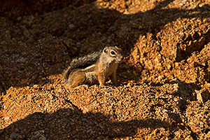 Harris Antelope Squirrel in Box Canyon